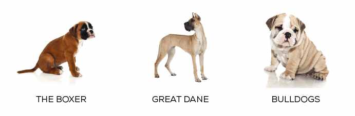 jowls dog, The Boxer, Greate Dane, and Bulldogs Dogs